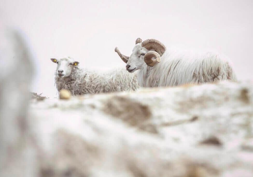 Alpaca_barberino_tavarnelle_chianti